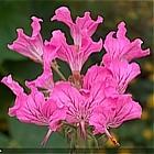 Pelargonia Endlichera
