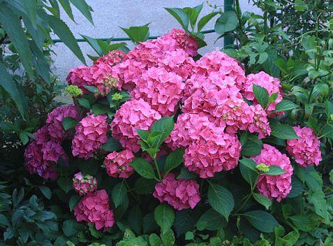 Kwiaty ogrodowe hortensja