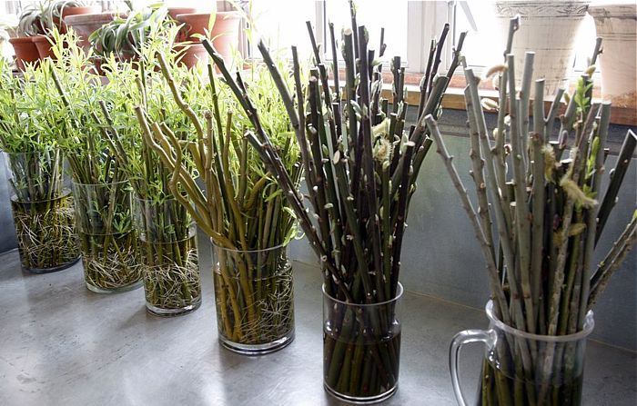 Pussy Willow Cuttings 94