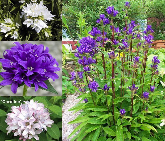 Dzwonek Skupiony Kwiaty Ogrodowe
