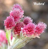 'Rubra'