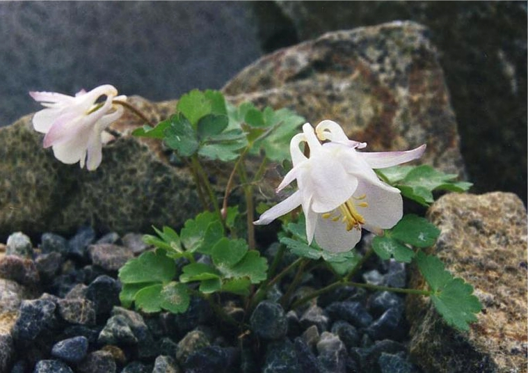Aquilegia laramiensis