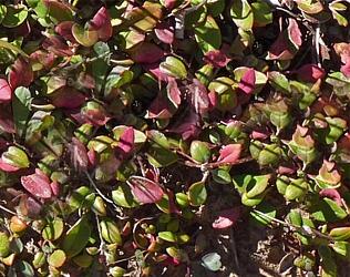 czerwieniejące liście