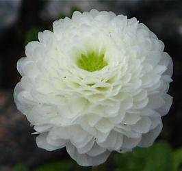Flore Pleno