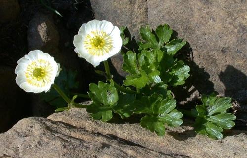 Ranunculus alpestris2