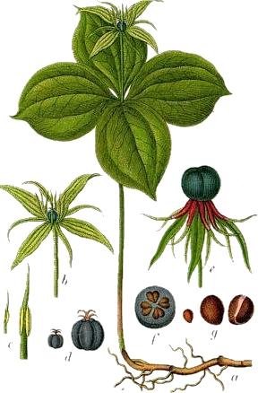 rys.botaniczny