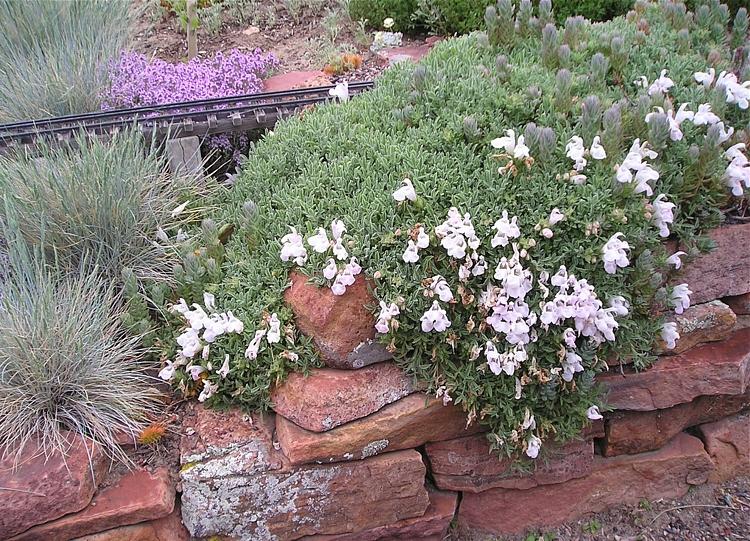 Salvia caespitosa2