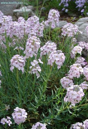 Aethionema grandiflora pion