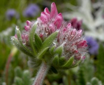 kosmaty kwiat