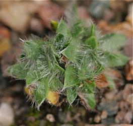 dwuletnia roślinka