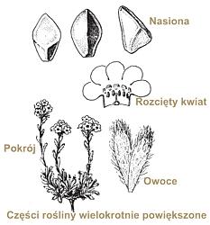 rysunek botaniczny