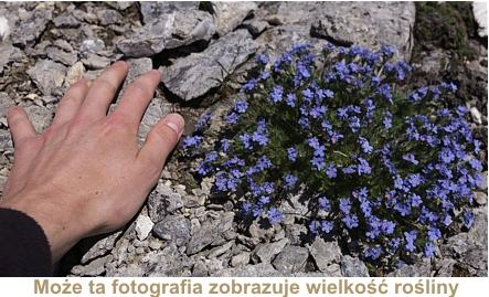 wielkość rośliny