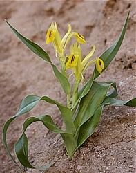 forma żółta