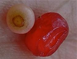 owoc i nasionko