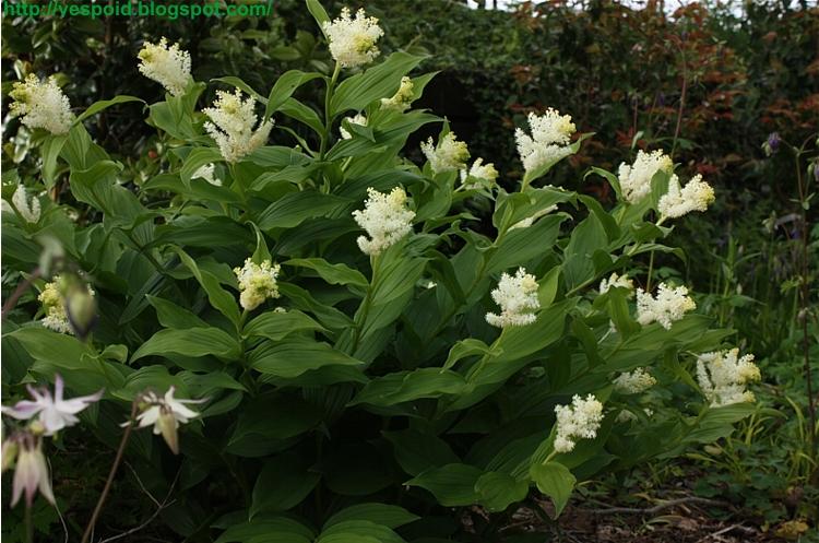 Smilicina racemosa