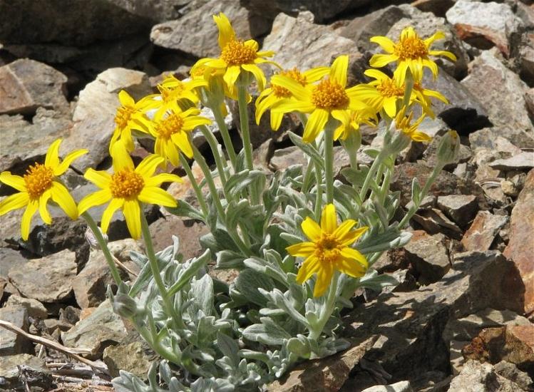 var. integrifolium