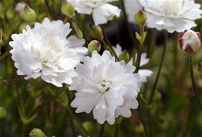 'Flore Pleno'