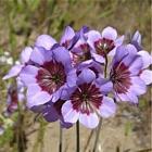 Leucocoryne purpurowa