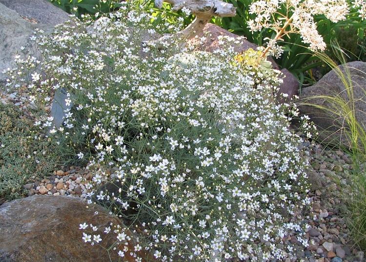 ssp.pauciflora