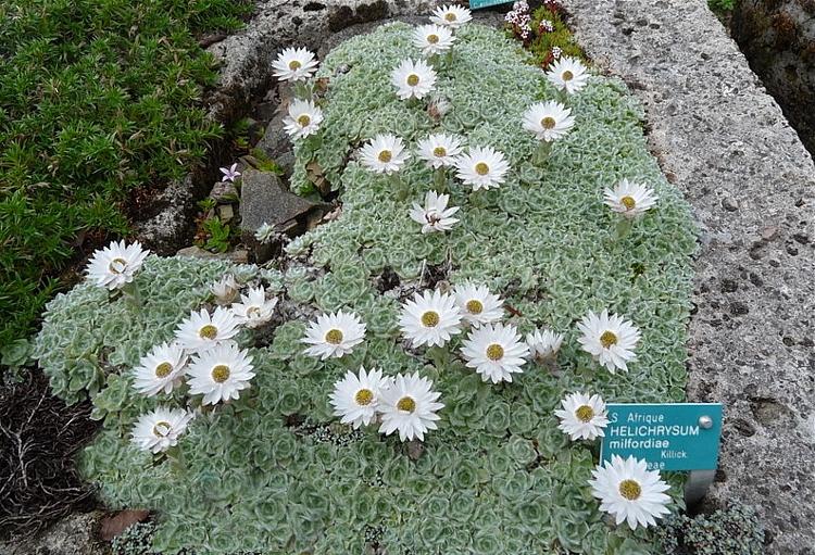 Helichrysummilfordiae