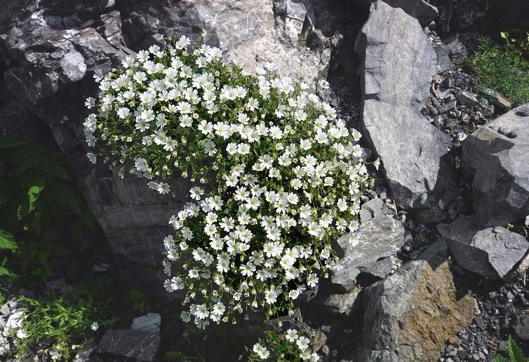 Cerastium carynthiacum