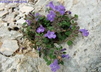 roślina roczna