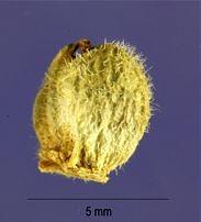 Vernalis-nasionko