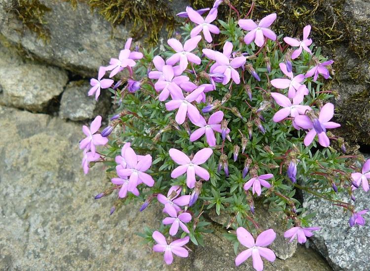 Viola delphinantha