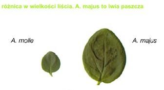 porównanie liści
