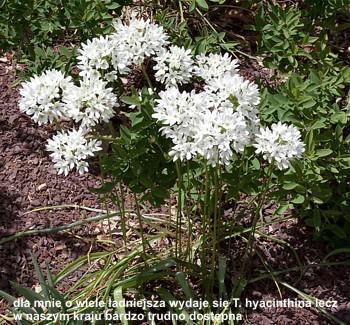 T.hyacinthina
