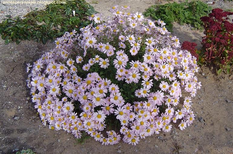 Chrysanthemum weyrichii II