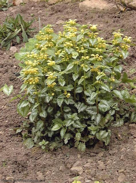 Lamium galeobdolon