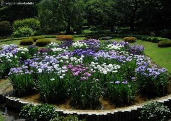 Iris ensata  II