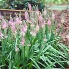 Scillia scilloides