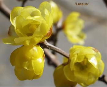 Luteus