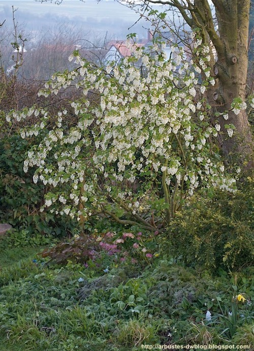 Ribes sanquineum