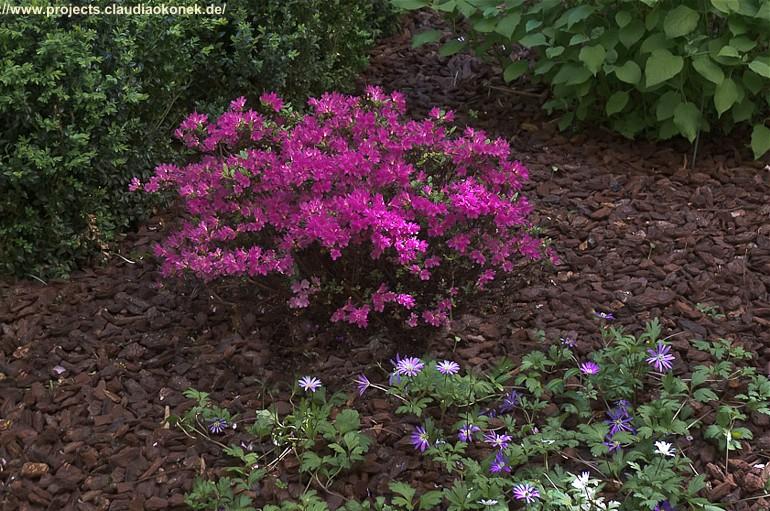 Rhododendreon obtusum